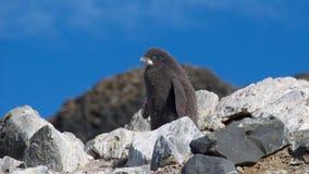 Adelie-Pinguinküken Lizenzfreie Stockfotografie