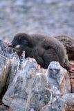 Adelie-Pinguinküken in einer Kolonie in der Antarktis Stockbilder