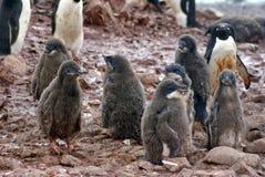 Adelie-Pinguinküken in einer Kolonie in der Antarktis Stockbild