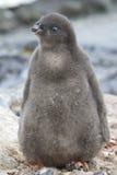Adelie-Pinguinküken nahe dem sonnigen Tag des Nestes Stockfotografie
