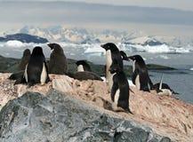 Adelie-Pinguinkolonie Lizenzfreies Stockbild