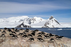Adelie-Pinguinkolonie auf den Felsen auf dem Hintergrund des Berges Lizenzfreie Stockfotografie