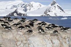 Adelie-Pinguinkolonie auf den Felsen von einem der Antarktis islan Lizenzfreie Stockbilder