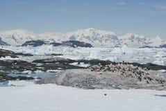 Adelie-Pinguinkolonie auf einer verlassenen Insel Antarktis. Stockfoto