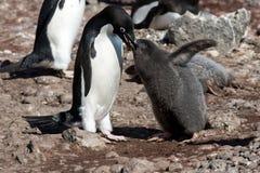 Adelie-Pinguinmutter, die das Küken speist Stockfoto