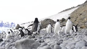 Adelie-Pinguinweg auf trhe Strand stock video footage