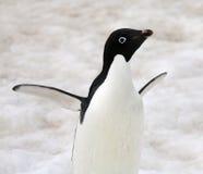 Adelie pingvin - Antarktis Arkivfoton