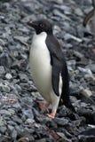Adelie pingvin i Antarktis royaltyfria foton