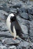 Adelie pingvin i Antarktis royaltyfri bild