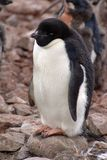Adelie pingvin i Antarktis arkivbilder