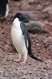 Adelie pingvin i Antarktis royaltyfria bilder
