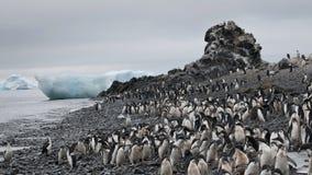 Adelie pingvin i Antarktis Arkivfoton