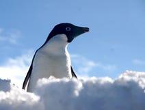 Adelie pingvin i Antartica Royaltyfria Bilder