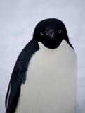 Adelie pingvin i Antartica Royaltyfria Foton