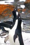 Adelie pingvin i Antartica Royaltyfri Foto