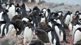 Adelie pingvin med fågelungar stock video