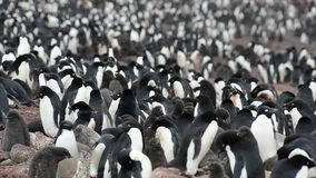 Adelie pingvin med fågelungar arkivfilmer