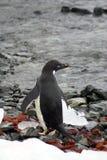Adelie pingvin på en stenig strand arkivfoto