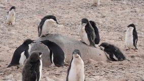 Adelie pingvin promenerar stranden lager videofilmer