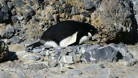 Adelie pingvin redet stock video