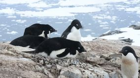 Adelie pingvin redet arkivfilmer