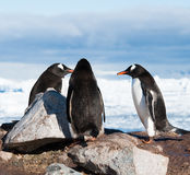 Adelie pingvin som har konversation Royaltyfri Bild
