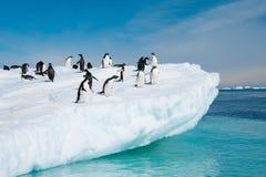 Adelie pingvin som hoppar från isberg Arkivbild