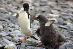 Adelie pingvin som matar en fågelunge arkivbild