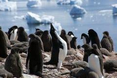 Adelie pingvin som skriar i koloni royaltyfria bilder