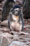 Adelie pingvinfågelunge i en koloni i Antarktis royaltyfria bilder