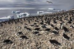 Adelie pingvinkoloni - Antarktis Arkivfoto