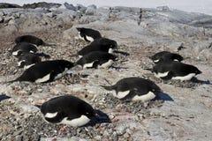 Adelie pingvinkoloni på en av Antarktis Arkivbild