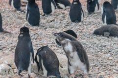 Adelie pingvinpar som matar deras f?gelunge arkivbilder