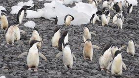Adelie pingwinów spacer wzdłuż plaży zdjęcie wideo