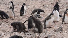 Adelie pingwinów spacer wzdłuż plaży zbiory