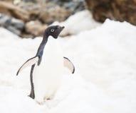 Adelie pingwin Obraz Stock