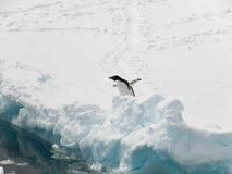 Adelie pingwin hesistating iść w wodzie Zdjęcia Royalty Free