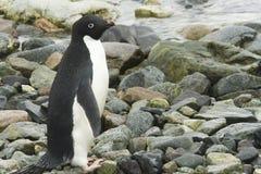Adelie pingwin na brzeg Zdjęcia Royalty Free