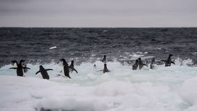 Adelie pingwin na górze lodowa Obrazy Royalty Free