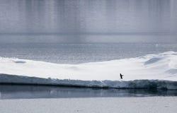 adelie pingwin na lodu pławiku Obraz Royalty Free
