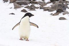 Adelie pingwin na Paulet wyspie, Antarctica Obrazy Stock