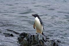 Adelie pingwin na skale przy krawędzią plaża Zdjęcie Stock