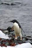 Adelie pingwin na skalistej plaży Zdjęcie Stock