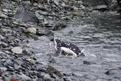 Adelie pingwin pływa do skalistej plaży Obraz Stock