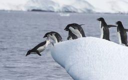 Adelie pingwin skacze Obrazy Stock