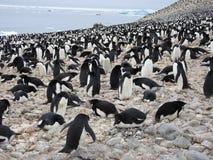 Adelie pingwinu kolonia obrazy royalty free