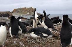adelie pingwiny Fotografia Royalty Free