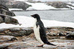 Adelie or pygoscelis adeliae penguin Royalty Free Stock Photos