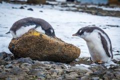 Adeliepinguïn die op rots naast een andere liggen Royalty-vrije Stock Foto
