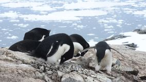 Adeliepinguïn het nest stock videobeelden